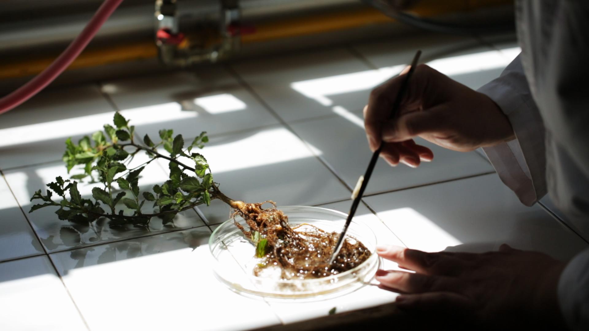 Selección-de-microorganismos-para-producción-de-álamos